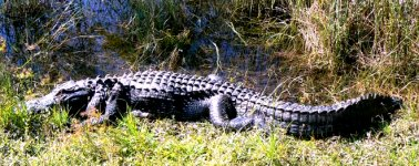 The american alligator is a very common animal here.