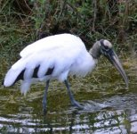 The endangered wood stork can be seen here frequently.