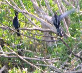 The anhinga is a diving bird that swims under water.