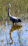The great blue heron is one of the largest wading birds.