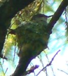 Humming bird on nest