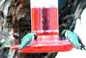 Four hungry humming birds on our feeder at once.