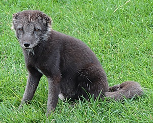 This arctic fox pup is still mostly black, but just starting to turn white.