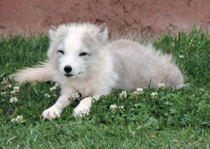 The arctic fox pups are born in diffeerent colors but turn white as juvenials.