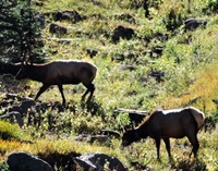 The elk cross a medow with their bull in close attendence!