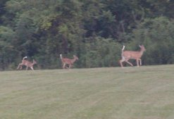 White tail deer graze on the field almost daily.