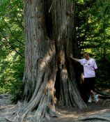 Pam poses with one of the very large cedar trees of this forest.