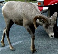The bighorn sheep seem to know that they have the right of way in all parking areas.
