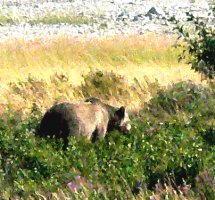 Grizzly bear sow. Enlarge this picture to see her with her cub.