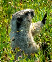 A marmot sees to be welcoming everyone to the park!