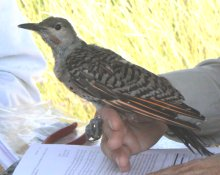 A northern flicker which we captured for banding.