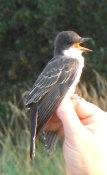 A kingbird is telling the world it's time for release!