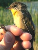 One of many yellow belly warblers that were banded.