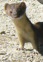 One of our nearest neighbors was a weasel.