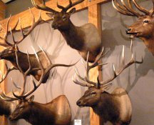 This is the trophy room of the Elk Foundation's visitor center.