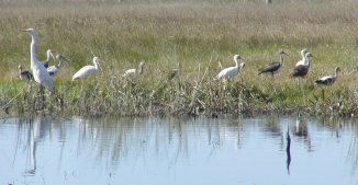An egret and both adult and juvenile ibis at the pond near the San Bernard office.