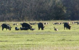 Canada geese and wild pigs, in a shot taken from our RV site.