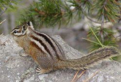 One of Yellowstone's many chipmonks.